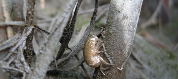 Saltmarsh amphipod (Orchestia grillus) on a Spartina stem. Brown is the normal color morph, compare to the orange, parasitized morphs. Plum Island Estuary, Massachusetts