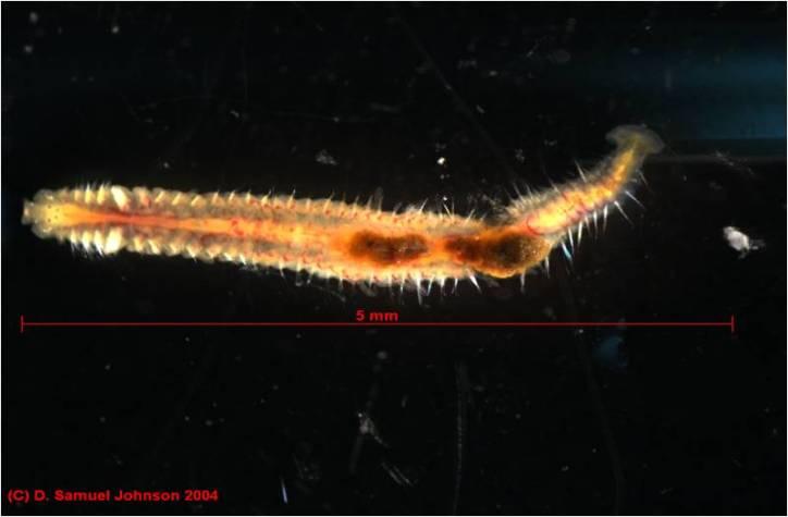 Saltmarsh worm (Polydora cornuta) from the mudflats of the Plum Island Estuary, Massachusetts. The scale bar is wrong.