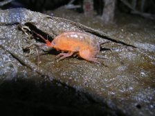 Saltmarsh amphipod (Orchestia grillus). The orange color indicates its parasitized by a trematode. Plum Island Estuary, Massachusetts