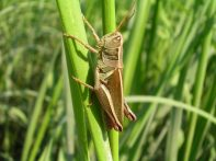 Prarie grasshopper (Melanoplus sp.) in the saltmarsh. Plum Island Estuary, Massachusetts