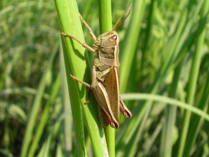 Prarie grasshopper (Melanoplus sp.) in the saltmarsh. Plum Island Estuary, Massachusetts