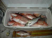 Gulf of Mexico red snapper (Lutjanus campechanus)