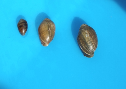 Coffee bean snail at different ages. Note the transverse bands on the young (small snail) that are often absent on the larger snails. Rowley, Massachusetts