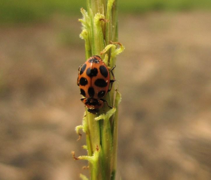 Marsh ladybug, Rowley, Massachusetts