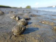 Mudnsail, Nassarius obsoletus, Plum Island Estuary (4)