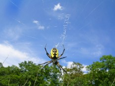 orb-weaving-spider-rowley-massachusetts-1