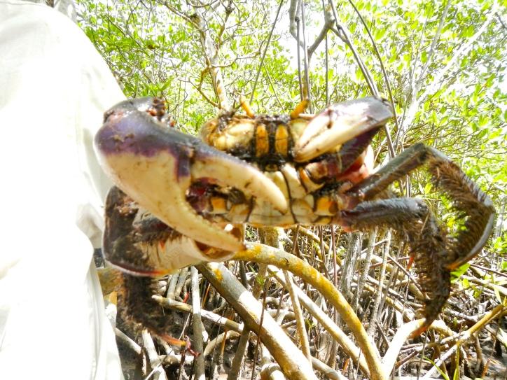 Mangrove land crab (Ucides cordatus) in the red mangroves (Rhizophora mangle) of Jobos Bay Puerto Rico.