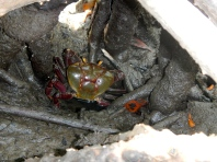 Mangrove land crab (Ucides cordatus) in the red mangroves (Rhizophora mangle) of Jobos Bay Puerto Rico.