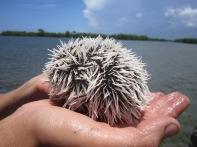 White sea egg (Tripneustes ventricosus), a sea urchin found in the turtle grass beds (Thalassia testudinum) of Jobos Bay, Puerto Rico.