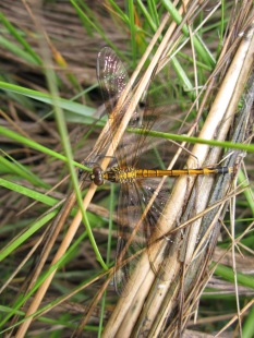 saltmarsh-dragonfly-seaside-dragonlet-erythrodiplax-berenice-rowley-massachusetts
