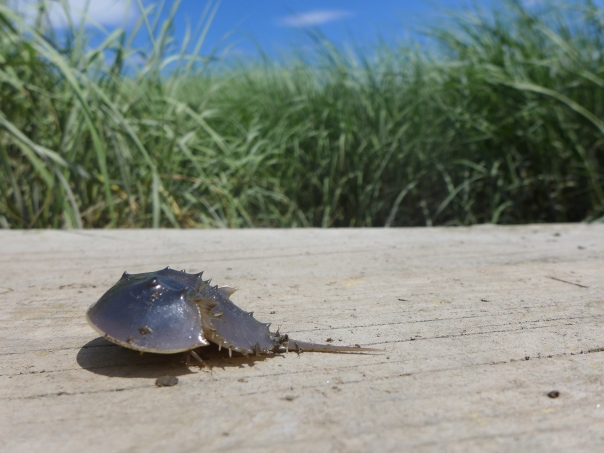 Small horseshoe crab, Rowley, Massachusetts.JPG