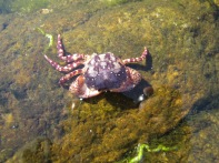 Asian shore crab, Hemigrapsus sanguineus, Gloucester, Massachusetts