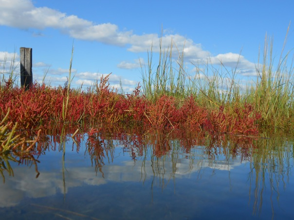 Saltmarsh Pickleweed, Salicornia europaea, in fall colors in Rowley, Massachusetts