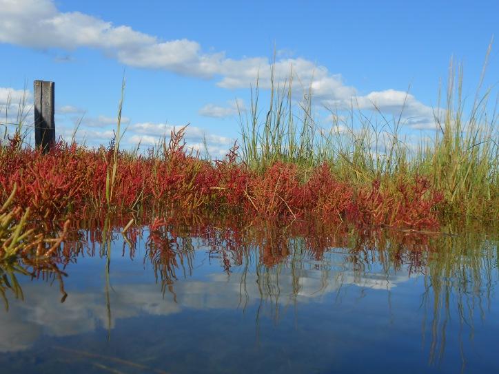 Saltmarsh Pickleweed, Salicornia europaea, in fall colors in Rowley, Massachusetts