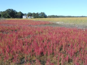 A conflagration of saltmarsh pickleweed, Salicornia europaea. Note the bare spots not yet colonized and Spartina alterniflora on the advance.