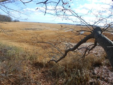 Red oak at marsh edge, Rowley, Massachusetts (2)