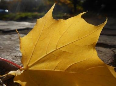Sugar maple, Acer saccharum, Byfield, Massachusetts