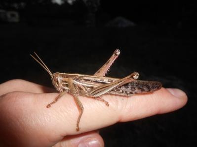 American bird grasshopper, Schistocerca americana, Hilliard, Florida