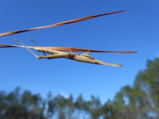 Long-headed toothpick grasshopper, Achurum carinatum, Hilliard, Florida