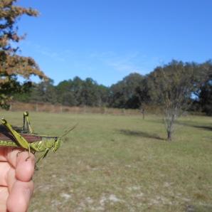 Obscure bird grasshopper Schistocerca obscura, Hilliard, Florida