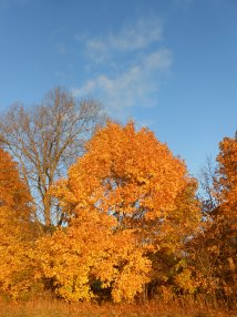 Sugar maple, Acer saccharum, Newbury, Massachusetts