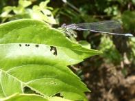 Violet dancer damselfly, Argia fumipennis (?), Fayetteville, Arkansas