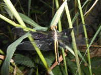 Yellow-sided skimmer, Libellula flavida, Fayetteville, Arkansas