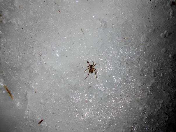 Thin-legged wolf spider, Pardosa littoralis, Newbury, Massachusetts