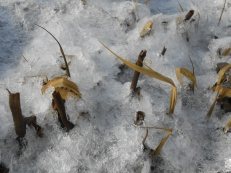 Springs of Spartina alterniflora poking through the ice