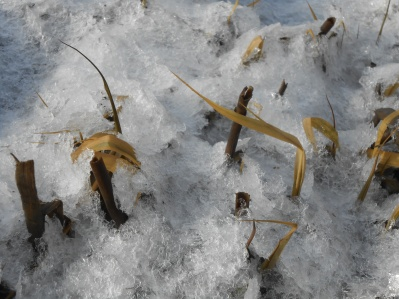 Springs of Spartina alterniflora poking through the ice
