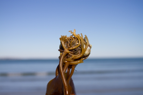 Holdfast the beauty. Photo: Alison Gould, http://agould.carbonmade.com/