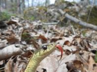 Common Garter Snake, Thamnophis sirtalis, Newbury, Massachusetts (6)