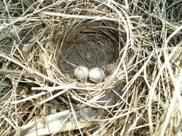 Saltmarsh sparrow (Ammodramus caudacutus) eggs, Ipswich, Massachusetts