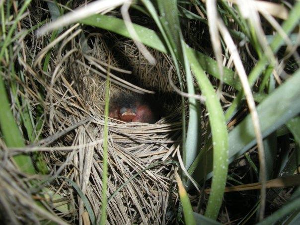 Saltmarsh sparrow (Ammodramus caudacutus) baby brids, Ipswich, Massachusetts
