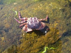 Asian shore crab, Hemigrapsus sanguineus, Gloucester, Massachusetts (2)