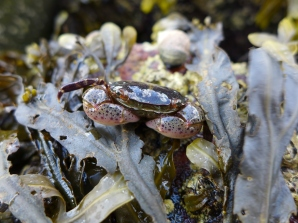 The shore crab, a beautiful, yet invasive, species