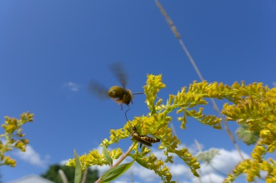 A bee lands as a soldier beetles hunts for nectar