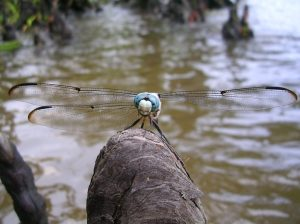 How would you catch this dragonfly?