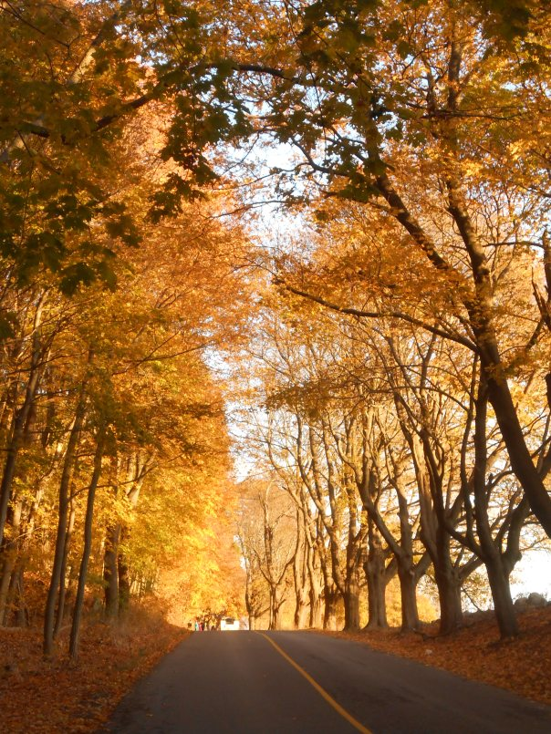 Picture taken in 2013 on Newman Road. The sugar maples, shown here, have not yet turned the road into a golden tunnel so you still have time to see some great color! You've got three weeks!