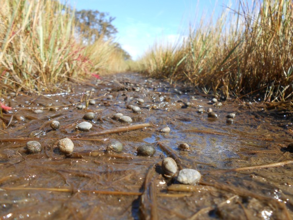 Galloping hordes of marsh snails!
