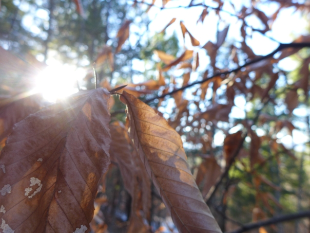 American Beech, Fagus grandifolia, Denmark, Maine (1)