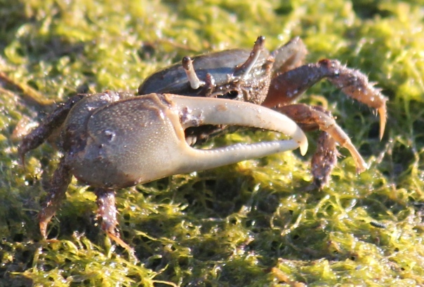 Salt marsh fiddler crab, Uca pugnax, Manchester-by-the-Sea, Massachusetts