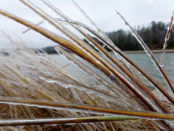 Ice-covered Spartina - Yorktown, VA, Jan 2015 (2)