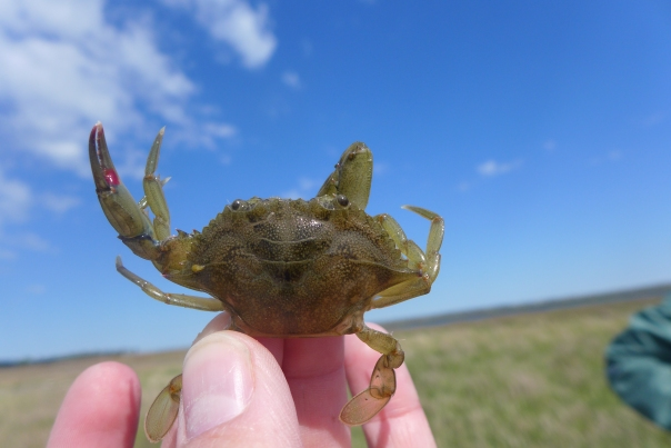 A juvenile blue crab from a seagrass bed. May you're thinking, Hey, where's his other claw? It's locked on to my finger. It's the crab's version of holding hands.