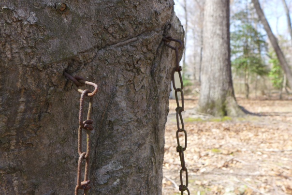 Ogre tree chomps on chains, Williamsburg, VA (3)