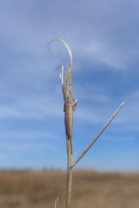 Stretch spider, Tetragnathid spider, Goodwin Island, VA