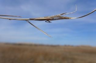 Stretch spider, Tetragnathid spider, Goodwin Island, VA (5)
