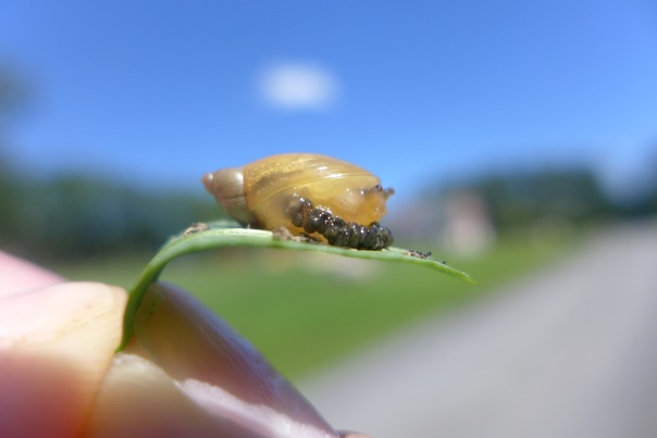 Amber snail. Indisposed.