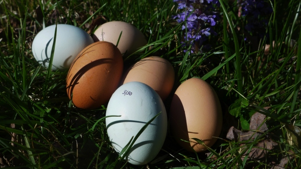 Yard eggs