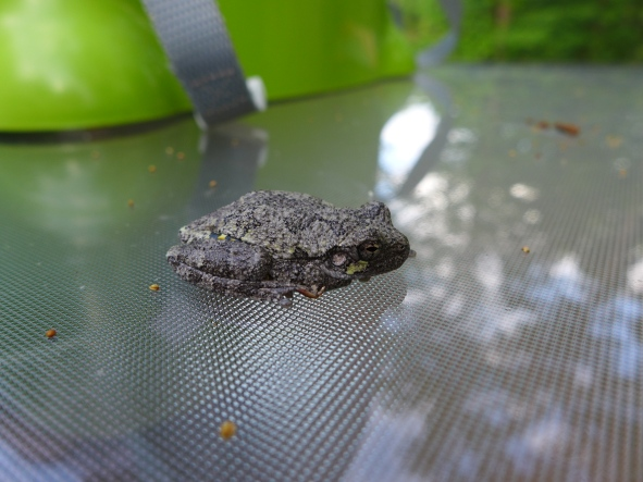 Gray Treefrog, Jamestown, VA (1)